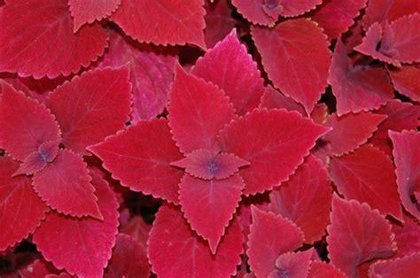 redhead wholesale coleus  sale flintwood farms