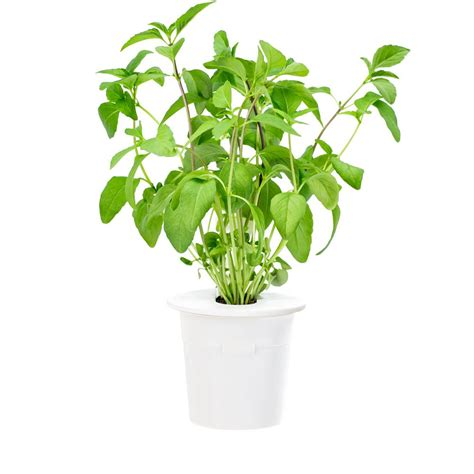 click and grow refills click and grow thai basil refill for smart herb garden 3