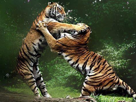 Imagenes De Leones Y Tigres Peleando | tigres jugando o peleando groupes jo 235 lle adam historia