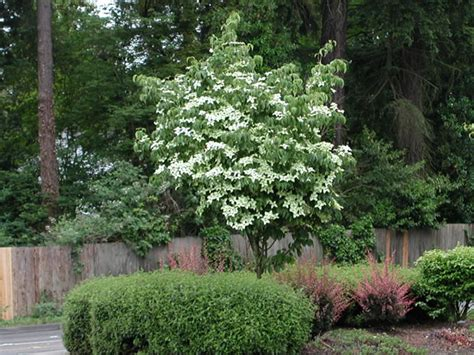 image gallery kousa dogwood tree