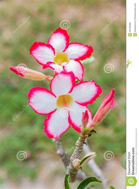 fiore rosa deserto fiore bianco e rosa deserto obesum adenium
