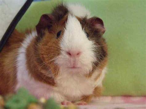 pine bedding for guinea pigs piggybedspreads com fleece cage bedding liners for
