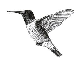 hummingbird drawing chuck does ruby throated hummingbird ink drawing