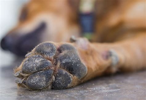 paw bleeding 5 tips to avoid chapped bleeding skin and paws this winter