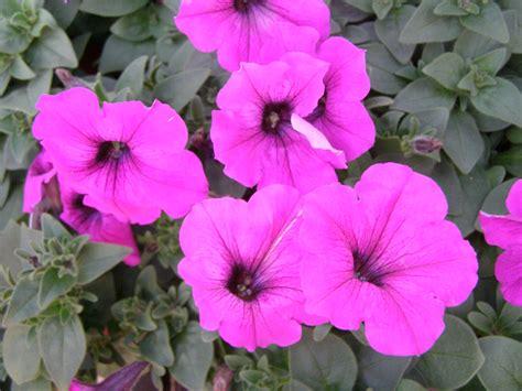 image gallery wave petunias