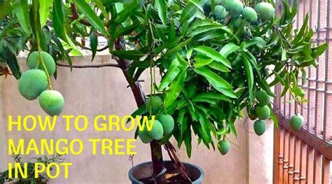 grow mango tree  pot home gardeners