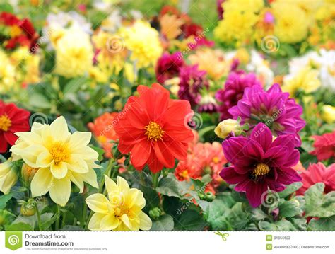 different colored bright different colored flowers of dahlia stock photo