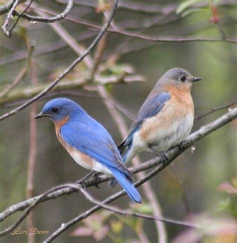 bluebirds bluebirds pinterest