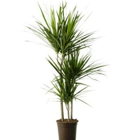 most common tropical houseplants indoor plants our of the best tropical house plants plant identification and tropical