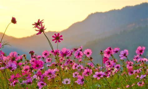 imagenes para fondos de pantalla flores fondos de pantalla cosmos planta muchas rosa color flores