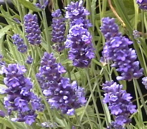 lavandula angustifolia krajova lavandula krajova czech lavender cold hardy lavender cold
