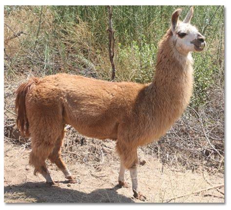 llama llama  pack animals llamas  pets  companions llama desertusa