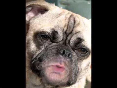 uggly pug do you think i m pug