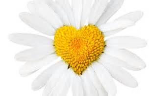 daisy love heart middle love wallpaper