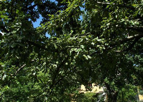 garten jena botanischer garten jena 20 pyrus salvifolia ein birnan hybrid