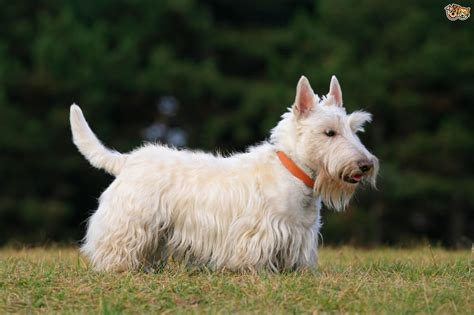 scottish dogs scottish terrier breed information buying advice photos and facts pets4homes