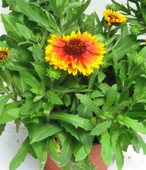 Garten Pflanzen Versand by Pflanzen Versand Bepflanzter Balkonkasten 60 Cm
