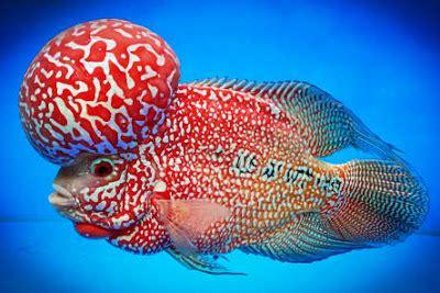 Pakan Ikan Louhan Untuk Warna cara memperjelas warna ikan louhan cara budidaya ternak