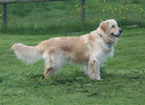 beautiful golden retriever puppies for sale beautiful golden retriever puppies wrexham wrexham pets4homes