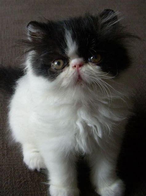 gatti persiani roma allevamento gatti persiani roma specchio dell anima di