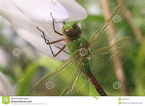 green dragonfly l common green darner dragonfly stock photo image 15660212
