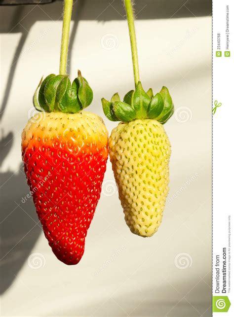 Strawberry Yellow strawberry and yellow strawberry stock photo image