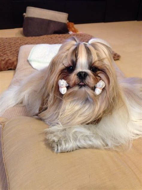 shitsu poodle with long hair 66 best images about long haired shih tzu on pinterest