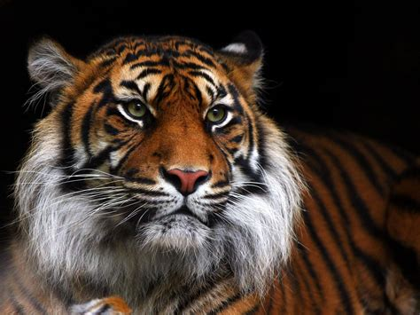 HD Tiger Wild Cat Muzzle Android Wallpaper   Download Free