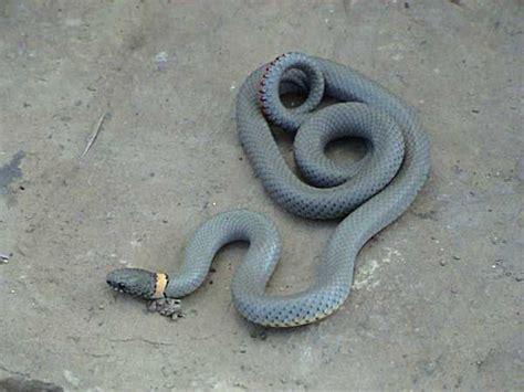 ringneck snake diadophis punctatus herpedia
