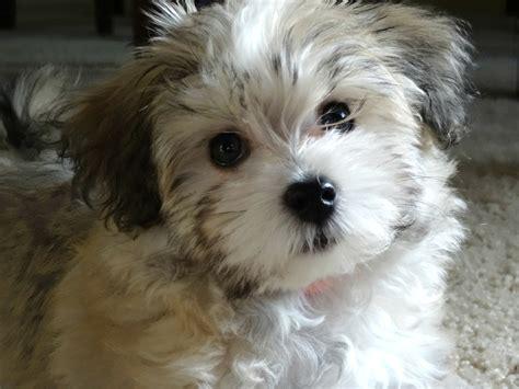 best havanese breeders photo gallery part iii havahug havanese puppies