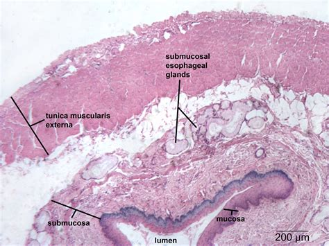 cross section of esophagus digestive np histology