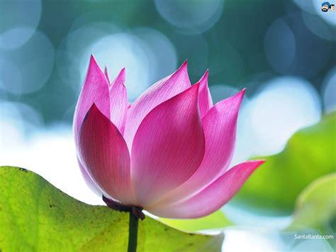 picture lotus lotus wallpaper 5