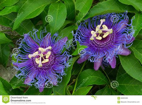 passiflora inspiration inspiration passionflower passion