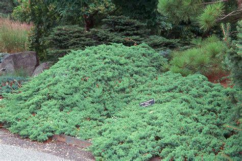 creeping dwarf gardenia 3 gallon shrub groundcover gardening and nature therapy june 2012