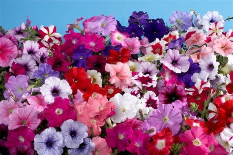 petunia hybrida multiflora celebrity regular mix annual benary