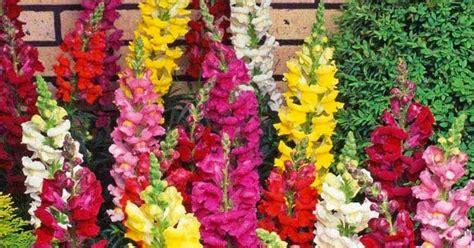 Bibit Ginseng Korea benih tanaman agrobis untuk bercocok tanam bibit bunga snapdragon tetra mix