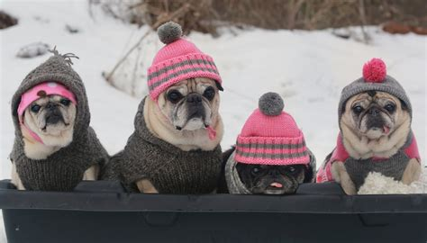 why do pugs everything adorable pugs are going for a sledding what they do can t stop