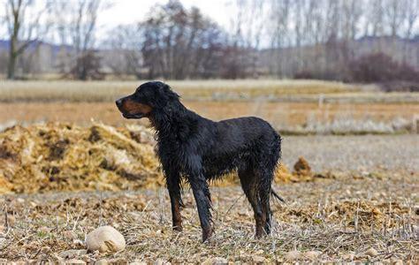 setter dog breed info gordon setter dogs breed information omlet