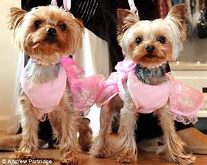 yorkie for 40000 pered pooches lulu and lola and their 163 40 000 of tutus