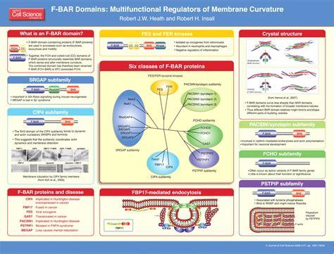 bar domains multifunctional regulators  membrane