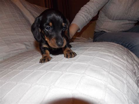 miniature dachshund puppies for sale | Carmarthen ...