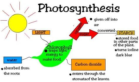 steps of photosynthesis flowchart two stages of photosynthesis ehow