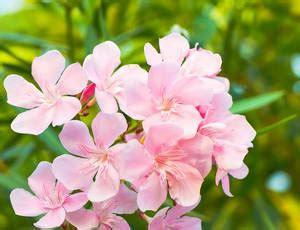 Arrosage Lauriers Roses by Laurier Plantation Taille Entretien Pour Une