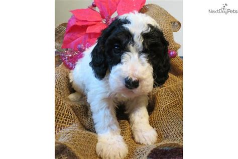 all about puppies ta fl mini goldendoodle puppies florida to mini