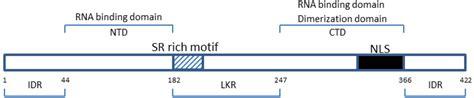 n protein coronavirus viruses free text the coronavirus nucleocapsid is