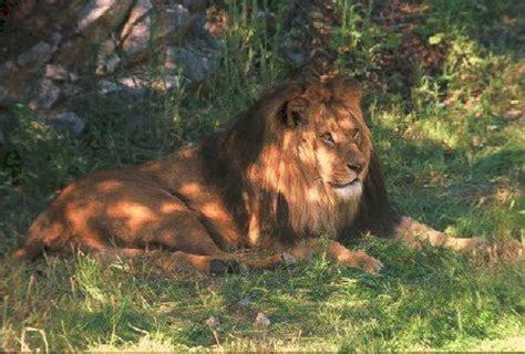 film le lion de kessel pour le 30 janvier cinqui 232 mes les mots comme des