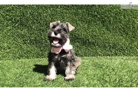 miniature schnauzer puppies for sale in california miniature schnauzer for sale california breeds picture