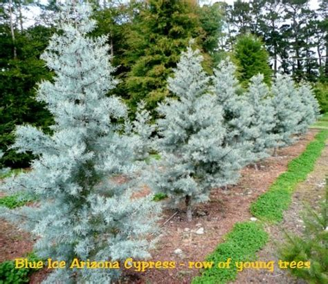 decorated blue arizona cypress arizona blue cypress