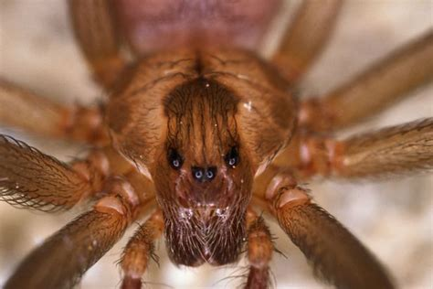 could spider venom be the next viagra daily mail online boy 10 dies after spider bites him on leg during