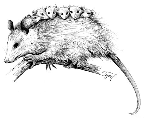 opossum clipart the opossum live die the adirondack almanack